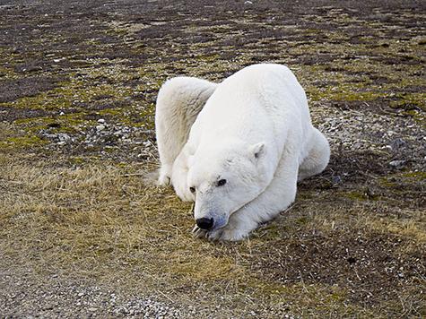 Reportasje om personskade og isbjørn på Svalbard
